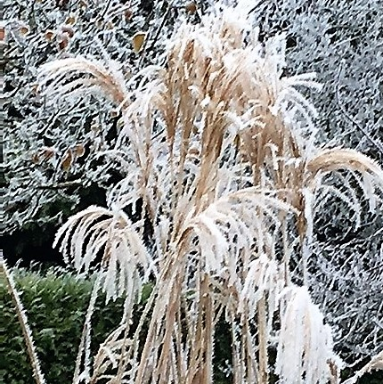 hiver miscanthus